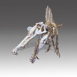 Menší a výborně dochovaný kosterní exemplář spinosaura z Maroka o celkové délce 8,4 metru s lebkou dlouhou 1,2 metru. Tato fosilie se dnes nachází v soukromé sbírce. Nápadný je u ní úzký profil čelistí, ideální pro chytání kluzké kořisti. Spinosauři se však neživili pouze rybami a jinými vodními obratlovci, příležitostně si pochutnali i na ptakoještěrech nebo jiných dinosaurech. Kredit: Didier Descouens; Wikipedia (CC BY-SA 4.0)