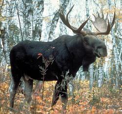 Ohroženi jsou i losi. Kredit: USDA Forest Service.