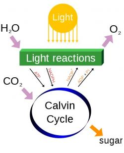 Fotosyntéza, velmi zjednodušeně. Kredit: Daniel Mayer / Wikimedia Commons.