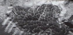 """Ploška se zachovanými """"šupinkami"""" v oblasti pánve a žeber jedince tyranosaura, známého jako """"Wyrex"""" (BHI 6230). Peří zde nehledejte, snad se nacházelo alespoň na jiných částech těla… Převzato z webu Saurian.blogspot"""