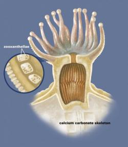 Koráli jsou společenství polypů, kteří si vytváří pohárek z uhličitanu vápenatého. Polypy si ve svých tělech hýčkají řasy zooxantely. Kredit: Smithsonian Institution.