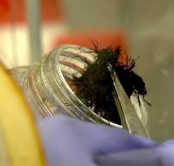 Tak na začátku vypadá změť uhlíkových vláken z nichž na Rice University spřádají chirurgická vodivá vlákna. Kredit: Texas Heart Institute.