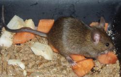 Myšáky nepochybně zajímá i jídlo. Kredit: Xocolatl / Wikimedia Commons.