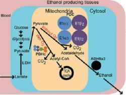 Alternativní metabolická dráha vypořádání se s laktátem bez přítomnosti kyslíku se tvoří alkohol. Kredit: Fagernes et al.,2017)