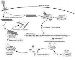 CRISPR je původně bakteriální obranný systém proti virům. Kredit: James Atmos / Wikimedia Commons