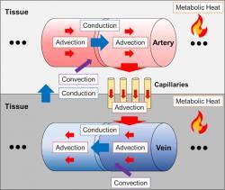 Režimy přenosu a prostupu tepla použité při modelování teploty v mozku. (Kredit: Sunget et al. CC BY 4.0)