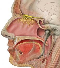 Čichový nerv, znázorněný žlutě. Kredit: Patrick J. Lynch / Wikimedia Commons.