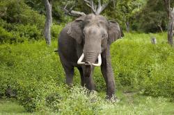 Lysá varianta mamuta. Slon indický. Kredit: Yathin SKrishnappa.
