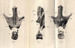 Nákres části dorzálního obratle sauropodního dinosaura, dnes známého jako Nopcsaspondylus alarconensis. Obratel tohoto argentinského rebbachisaurida popsal Nopcsa roku 1902, nepřidělil mu však žádné vědecké jméno. K tomu došlo až o 105 let později. Zdroj: Wikipedie