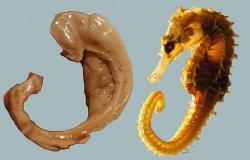 Lidský hipokampus vs mořský koník. Kredit: Laszlo Seress / Wikimedia Commons.