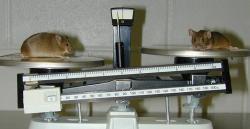 Vlevo knockoutovaná myš, jejíž knockout vedl krozvoji obezity. Kredit: Lexicon Genetics Incorporated / Wikipedia Commons.