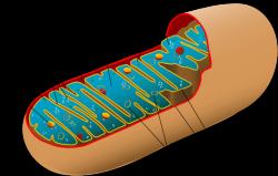 Také svým tvarem mitochondrie stále připomínají bakterie z nichž pocházejí.  (Kredit Mariana Ruiz (LadyofHats), překlad Michal Maňas, Wikipedia)