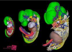 Rekonstrukce lidských embryí v šesti, osmi a devíti a půl týdnech těhotenství. Kredit: Bernadette de Bakker, MD akademického Medical Center v Amsterdam, Nizozemsko