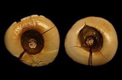 Oba přední zuby mají otvory vyvrtané a zaplněné za tím účelem připraveným tmelem. Kredit:Oxilia, G. et al.,  American Journal of Physical Anthropology(2017).DOI: 10,1002 / ajpa.23216