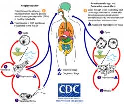 Životní cykly neglerie, akantaméb a balamutie. Kredit: CDC.