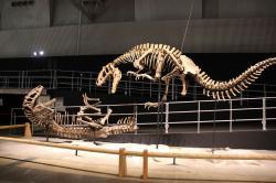 Rekonstrukce dvou koster největšího dosud známého prokazatelně opeřeného živočicha, čínského tyranosauroida druhu Yutyrannus huali. Tito devítimetroví, vysoce aktivní predátoři patří k nejlepším ukázkám posunu v nahlížení na celou skupinu, ke kterému došlo v průběhu dinosauří renesance za poslední zhruba čtyři desetiletí. Kredit: Laika ac (výstava Dino Kingdom), Wikipedie