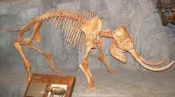 Elephas/Palaeoloxodon falconeri ze Středomoří. Trpasličí slon, který měřil na výšku 90 cm. Kredit: Ninjatacoshell / Wikimedia Commons.