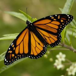 Monarcha stěhovavý. Kredit: Armon / Wikimedia Commons.