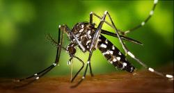 Komáre Aedes Aegypti šíria okrem Ziky aj horúčku dengue, žltú zimnicu a iné choroby.Kredit: Muhammad Mahdi Karim, en-Wikipedia.