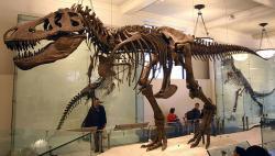 Současná modernizovaná podoba kostry druhého v pořadí objeveného tyranosaura (AMNH 5027). I po více než století po svém objevení představuje pomyslný zlatý hřeb expozice Amerického přírodovědeckého muzea v New Yorku. Autor snímku: J. M. Luijt, Wikipedie