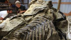 """Masivní blok horniny s fosiliemi dvou dinosaurů, kteří zemřeli v průběhu boje na život a na smrt asi před 67 miliony let. Původně měl být exponát prodán téměř za 10 milionů dolarů, ostře sledovaná dražba však k úspěchu (prozatím) nevedla. V pozadí v tmavém triku """"komerční paleontolog"""" Peter Larson. Kredit: S. Redfern, web BBC.com"""
