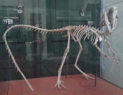 Rekonstruovaná kostra druhu Santanaraptor placidus ve sbírkách nyní z velké části zničeného Národního muzea v brazilském Rio de Janeiro. Kostra je z velké části hypotetická a její celková délka dosahuje asi 1,3 metru. Santanaraptoři byli pravděpodobně menší tyranosauroidi, žijící v období pozdní spodní křídy (asi před 112 miliony let) na území tehdejší severní Gondwany. Kredit: Dornicke, Museu Nacional; Wikipedie (CC BY-SA 4.0)
