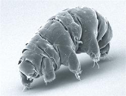 Želvuška medvíďátko Milnesium tardigradum. Kredit. Schokraie et al. (2012). PLoS ONE. CC BY 2.5.