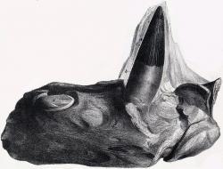 Fragment čelisti s dobře zachovaným zubem mořského pliosaura druhu Polyptychodon interruptus. Tito velcí predátoři obývali moře našeho území v době před zhruba 90 miliony let. Nákres pochází z konce 19. století, fosílie byla objevena v Anglii. Velmi podobné jsou však i objevy z našeho území. Kredit: J. Erxleben, Wikipedie