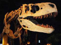 Lebka appalačiosaura jasně dokládá, že se jedná o příslušníka nadčeledi Tyrannosauroidea. Dosud není jisté, jakých rozměrů dosahoval tento teropod v dospělosti, pravděpodobně však mohl přesáhnout délku 9 metrů a vyrovnat se tak laramidijským tyranosauridům, jako byl Albertosaurus sarcophagus nebo Gorgosaurus libratus. Kredit: Ralph Daily, Wikipedie (CC BY 2.0)