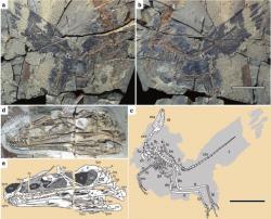 Fosilie dinosaura a obrazová rekonstrukce jeho kosterní anatomie i dochovaného pernatého integumentu. Tento malý dravec se zřejmě živil drobnými obratlovci a bezobratlými v pralesích počínající pozdní jury na území dnešní severovýchodní Číny. Kredit: Dongyu Hu et al., Nature; Wikipedie (CC BY-SA 4.0)