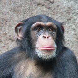 Alfa-gal ve svých tkáních nemají ze savců jen člověk a opice starého světa. Teoreticky by po takovém bushmeatu nemuselo alergikům na červené maso, nic být.