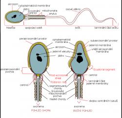 """Lidská spermie. Kredit: Michal Maňas, podle obrázku Mariana Ruiz """"Gray's anatomy"""" 36th edition, Williams & Warwick, Wikipedie Volné dílo."""