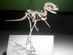 Rekonstruovaná kostra dilonga, jejíž podobnost se skelety pozdějších a mnohem větších tyranosauridů je zde poměrně nápadná. Kredit: Tony Cairns, Wikipedie (CC BY 2.0)