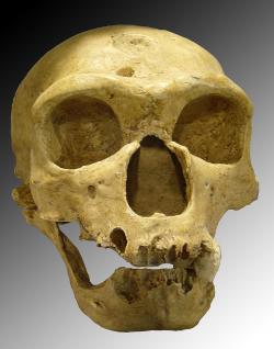 Lebka neandertalce objevená 1908 ve Francii,La Chapelle-aux-Saints.  Za to, co nám v dobách zlých pomohlo přežít infekce vděčíme těm, kteří se svým výrazným nosem, malým čelem a robustní postavou a téměř  žádnou bradou, více podobali opicím, než my. Kredit: Luna04 Wikipedia)