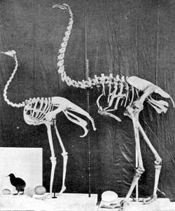 Mezi mumlavě bublající potomky dinosaurů patřil i nedávn vyhynulý Dinornis (Moa). (Kredit: Wikipedia, volné dílo)