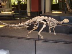 Kostra malého ornitopoda druhu Dysalotosaurus lettowvorbecki v Přírodovědném muzeu v Berlíně. Tento býložravec o velikosti dospělého člověka byl formálně popsán právě před sto lety. Kredit: Vlastní snímek; Wikipedie (CC BY-SA 4.0)
