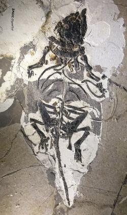 Jedna ze dvou dochovaných koster liaoningosaura je téměř kompletní a představuje pozůstatek mláděte o velikosti menšího kuřete. Je pravděpodobné, že se mohlo jednat o nanejvýš neobvyklého masožravého a ve vodě žijícího ankylosaurida. Exemplář je vystaven v pekingském Muzeu přírodní historie. Kredit: Bjoertvedt; Wikipedie (CC BY-SA 4.0)