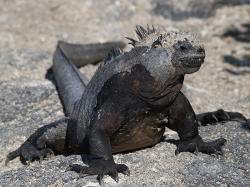 Galapážský leguán mořský pozorně sleduje novinky o plášťovém chocholu. Kredit: Wragge / Wikipedia Commons.