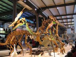 """Zrekonstruovaná kostra olorotitana v expozici Belgického muzea přírodních věd v Bruselu. Na objevu a výzkumu tohoto """"dálnovýchodního"""" býložravého ornitopoda se podílel i známý belgický paleontolog Pascal Godefroit. Kredit: Paul Hermans, Wikipedie (CC BY-SA 3.0)"""