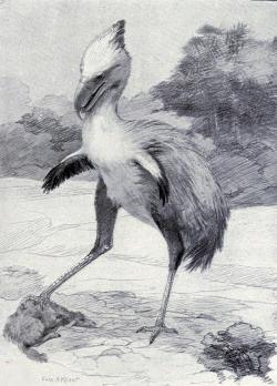Mírně zastaralá rekonstrukce vzezření druhu Phorusrhacos longissimus od výtvarníka Charlese R. Knighta z roku 1901. V té době bylo teprve deset let známé, že se jednalo o velkého nelétavého ptáka. Do roku 1891 totiž o jeho fosilii panovalo mylné přesvědčení, že se jedná o zkamenělinu jakéhosi miocénního savce z řádu chudozubých. Kredit: Charles R. Knigt; Wikipedie (volné dílo)