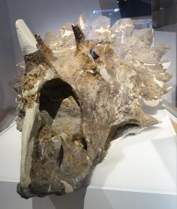 """Fosilní lebka regaliceratopse vykazuje neobvyklý tvar epokcipitálních výrůstků na okraji lebečního """"límce"""". Tento anatomický znak dokládá, že i zástupci chasmosaurinů dokázali na konci křídy vyvinout zajímavé excesivní struktury na svých lebkách. Kredit: Etemenanki3, Wikipedie (CC BY-SA 4.0)"""