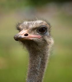 V současnosti rozlišujeme zhruba 10 000 druhů žijících maniraptorních teropodních dinosaurů, kterým obvykle říkáme ptáci. Největším z nich je původně africký pštros dvouprstý (Struthio camelus) s hmotností až kolem 150 kg a výškou 2,7 metru. Kredit: William Warby, Wikimedia Commons a Flickr (CC BY 2.0)