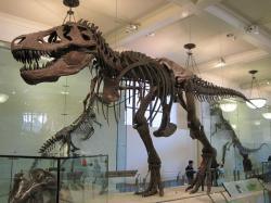 Tyrannosaurus rex, exemplář AMNH 5027 z Amerického přírodovědeckého muzea v New Yorku. Jak ukazují novější výzkumy, tento ikonický teropod ještě stále není ze hry o pomyslný titul největšího známého dravého dinosaura. Kredit: Raul, Wikipedie (CC BY-SA 2.0)