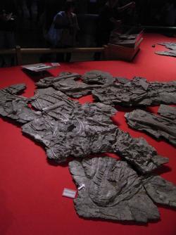 Fosilie yutyranů se dochovaly značně zploštělé ve vrstvě sedimentu, který musel být z logistických důvodů rozřezán na menší části. Jen tak bylo údajně možné zkameněliny z lokality vynést. Kredit: Kumiko, Wikipedie (CC BY-SA 2.0)