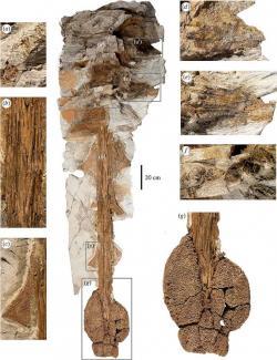 """Fosilie zachované části ocasní páteře zuula dokládá, jak nebezpečnou obrannou zbraní jeho ocas byl. Těžká kostěná palice na jeho konci byla ankylosauridem rozkývána takovou silou, že dokázala přerazit nohu i toho největšího útočícího tyranosaurida. Právě odtud pochází druhové jméno dinosaura crurivastator (doslova """"ničitel holení""""). Kredit: Victoria M. Arbour, David C. Evans; Wikipedie (CC BY 4.0)"""