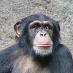 Šimpanz je lidoop z čeledi hominidů, patřících do řádu primátů. Je naším nejbližším žijícím příbuzným. Od něj máme nejrozšířenější vir HIV-1. Linie M má na svědomí celosvětovou pandemii.  (Kredit: Thomas Lersch, Wikimedia Commons)
