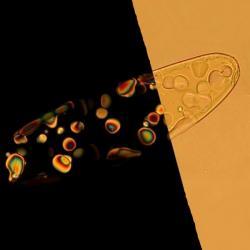 Nanořetězce DNA ve stavu tekutých krystalů. Vlevo vpolarizovaném světle. Kredit: Noel Clark / University of Colorado.