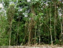 Druhotný tropický les na Papui – Nové Guinei, 10 let po vykácení. Kredit: P. Klimeš.