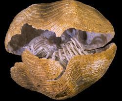 Fosilie Liospiriferina rostrata z Francie měří jen něco málo přes tři centimetry, zato se na ní zachoval dobře patrný lofofor   chapadélka, jimiž živočich filtroval pankton. Odhadované stáří: mezi 183 až 189 milionů let.  (Kredit: Didier Descouens, Wikipedia)
