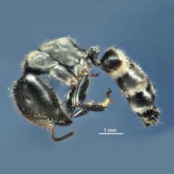 Camponotus wanangus, nový mravenec pro vědu, věnovaný vesnici Wanang. Kredit: Klimeš & McArthur (2014).